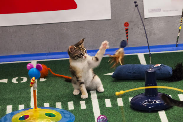 """Puppy Bowl"" features kittens during its half-time show."