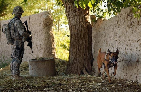 Belgian Malinois Attack Dog