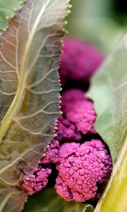 "Purple cauliflower peeks out from below a leafy arrangement at the <a href=""http://www.vccfarmersmarkets.com/"">Ventura farmers market</a>, where the setting is much like a family affair thanks to the many participants who also happen to work in the area. After more than 20 years, the Saturday event is still going strong."