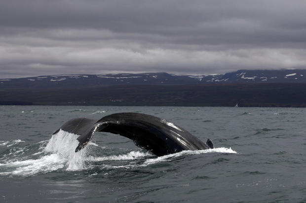 A gray whale off the coast of northwest Iceland.