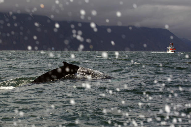 Whale watching off the coast of northwest Iceland.