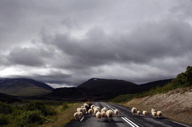 Sheep walk along the highway in east Iceland.