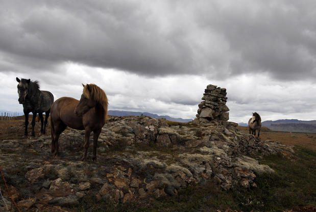 Icelandic horses roam the rugged terrain of northwest Iceland.