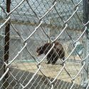Glendale bear caught