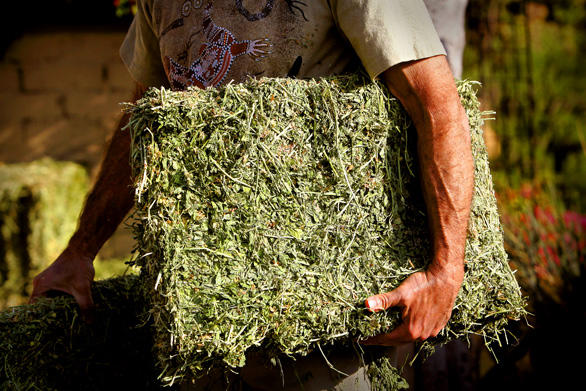"Pat Marfisi carries alfalfa hay into his Hollywood Hills backyard, but there aren't any animals to feed. It's for his ""no dig"" vegetable garden: raised beds using lasagna-like layers of fodder, bone and blood meal, and compost — and remarkably little water. Now that Gov. Arnold Schwarzenegger has declared a statewide drought, local governments may curb water use for nonessential purposes. Marfisi's personal horticultural lab offers lessons for a low-water, sustainable technique he learned working on organic farms in Australia. Since he began gardening this way, he has been ""inundated"" with food. ""You can have beauty and abundance without a lot of water,"" Marfisi says."