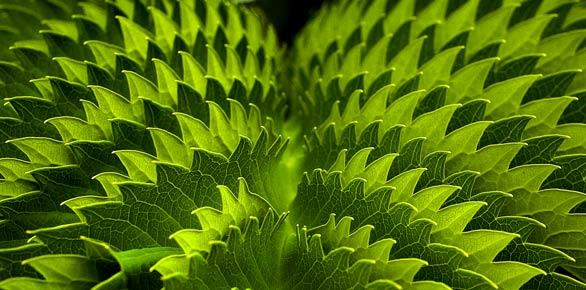 "This striking honeybush (Melianthus major) with its play of surfaces -- blue-green on one side of its pleated leaves and gray-green on the other -- resides in a demonstration garden of South African plants. Designed by Laurence Nicklin for the Seaside Gardens nursery in Carpinteria, the South African garden has four large beds of plants from the tip of South Africa. The garden is one of several at Seaside Gardens (<a href=""http://www.seaside-gardens.com""><u>www.seaside-gardens.com</u></a>) featuring plants -- including many that are drought resistant -- from the Mediterranean climate zones."