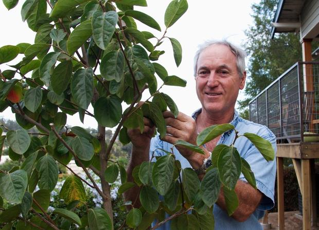 Actor Jan Munroe, an Echo Park resident, and his latest persimmon tree, which he planted with a trench for deep soaking.