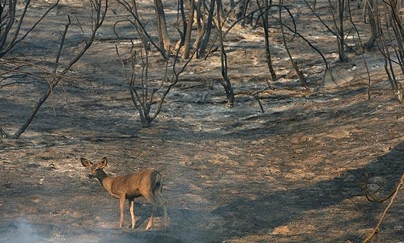 A deer walks through charred forest in the Angeles National Forest near Acton.