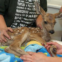 Injured fawn escapes wildfire