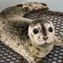 Olympia, a rescued harbor seal pup