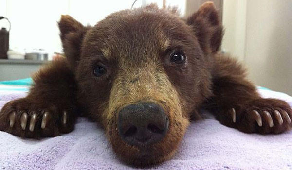 "A 3-month-old bear cub was discovered near Ojai and is now in Lake Tahoe undergoing rehabilitation.<br /><br /> <b>More:</b> <a href=""http://latimesblogs.latimes.com/lanow/2012/10/bear-cub-apparently-abandoned-by-mother-is-saved-by-dfg.html"" target=""_blank"">The employee had seen the cub ""scrambling around looking for mom""</a>"