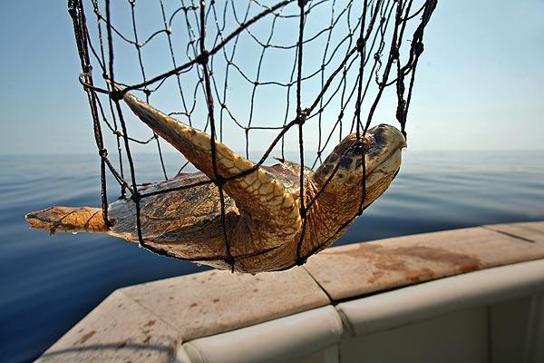 An oiled Kemp's Ridley turtle is rescued from the gulf by a team of researchers. The endangered creature will be treated and taken to a safer habitat.