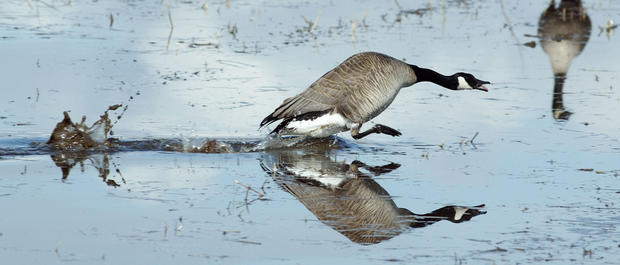 A Canada goose chases other geese out of his territory at Creamer's Field Migratory Waterfowl Refuge in Fairbanks.