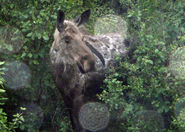 A moose photographed through a shuttle van window a few minutes from Denali rail station.