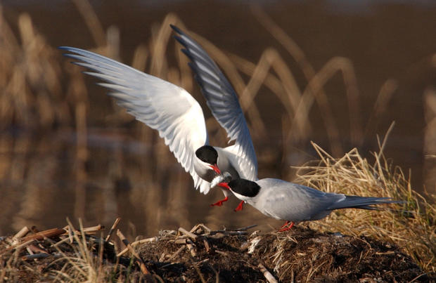 One of a pair of nesting Arctic terns flies in with a small fish at Potter Marsh in Anchorage. The terns hunt for small water insects and fish by diving into the marsh from the air and will pass their catch off without landing.