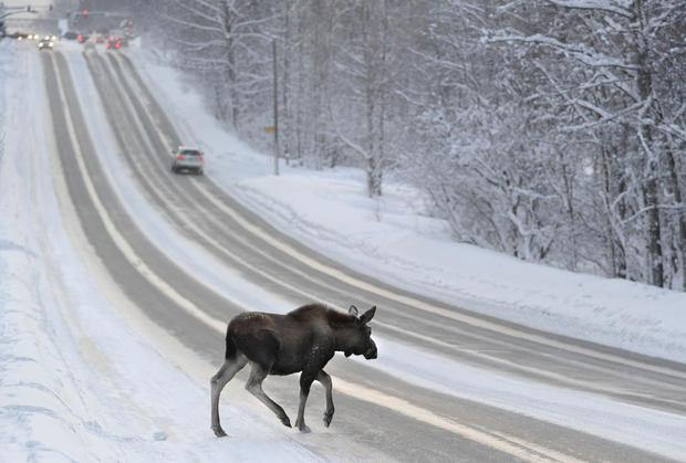 A moose crosses Lake Otis Parkway after a steady stream of traffic momentarily cleared in Anchorage. The moose was feeding on the trees near the road.