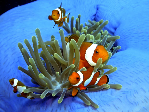 False clown anemonefish swim around a magnificent sea anemone.