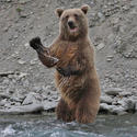 Grizzly bear, Kenai River, Alaska