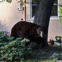 Bear loves meatballs, French fries and, most of all, Glendale