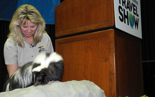 Beverly Critcher, founder of Wildlife Experience, shows off a skunk. Skunk?! Not to worry: It's been descented.