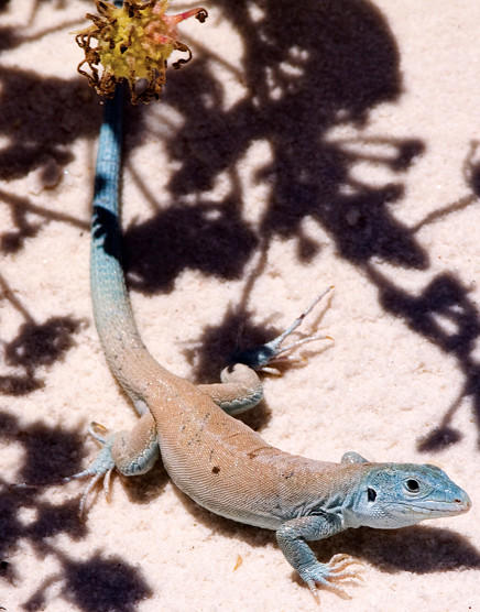 White Sands is home to several species of reptiles, including the  whiptail lizard.