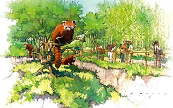 Concept art of the raccoon-like red panda exhibit opening this summer at the San Diego Zoo.