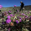 Purple patches in Anza-Borrego Desert State Park