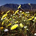 Anza-Borrego Desert State Park in bloom