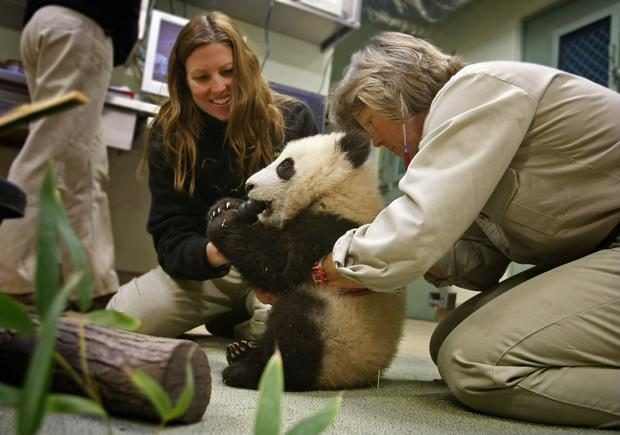 Dr. Meg Sutherland-Smith, right, associate director of veterinary services at the San Diego Zoo, checks Xiao Liwu's heart rate. Panda keeper Liz Simmons, left, helps Xiao Liwu with his binky. The healthy panda was born at the zoo and has been on public display for a limited number of hours since last week.