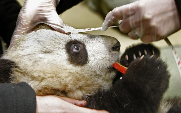 Xiao Liwu, a 5 1/2-month-old male panda, tries to munch on a piece of apple as his head is measured during a weekly checkup at the San Diego Zoo. He is still nursing.