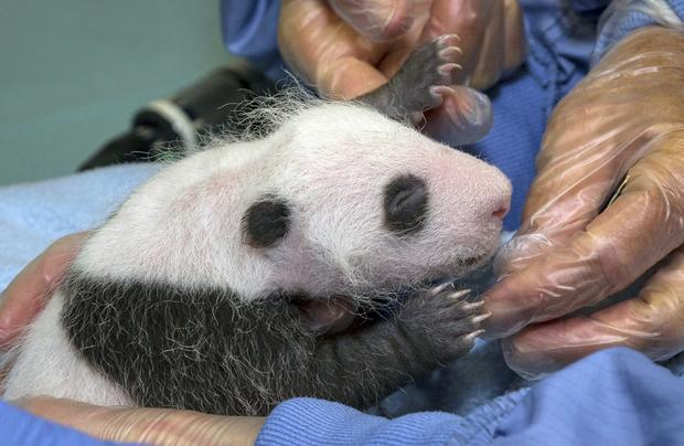This image provided by the San Diego Zoo shows Xiao Liwu receiving his first veterinary exam on Aug. 23, 2012, in San Diego. The exam determined that the cub was healthy and thriving at 1.5 pounds, but its sex could not be determined at the time. Xiao Liwu is the sixth giant panda born at the San Diego Zoo, the most born at a breeding facility outside of China.