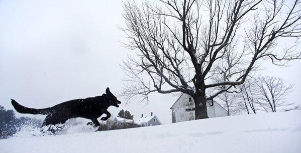 Luna, a black Labrador mix, frolics in fresh snow in East Derry, N.H.