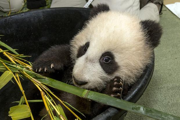 Xiao Liwu, shown snacking on bamboo, starts 2013 with a clean bill of health from his veterinarians.