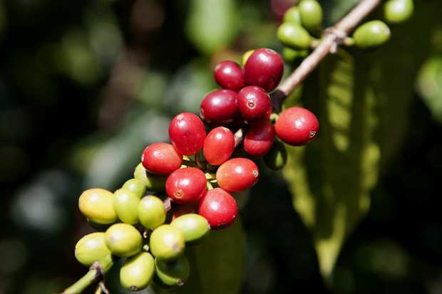 Red and green coffee beans at the Mountain Thunder plantation in Kona.