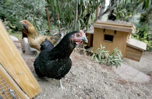 Two chickens roam the backyard of Audrey Diehl and Dakota Witzenburg's Mt. Washington backyard. Diehl and Witzenburg have had them as pets for almost a year.