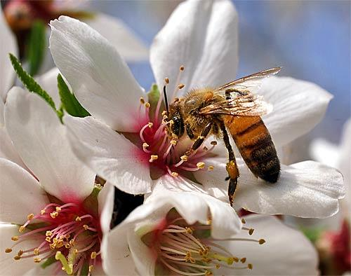 "<b>5. Fresno, Calif.</b><br> <br> Lodging:  $126.34<br> <br> Meals: $80.50<br> <br> Total average daily cost: $206.84<br> <br> <i>Photo: Bees collect pollen from a blossom in an almond orchard near Fresno, which is known for its springtime color along the <a href=""http://travel.latimes.com/articles/la-trw-blossom18feb24"">Blossom Trail</a>.</i>"