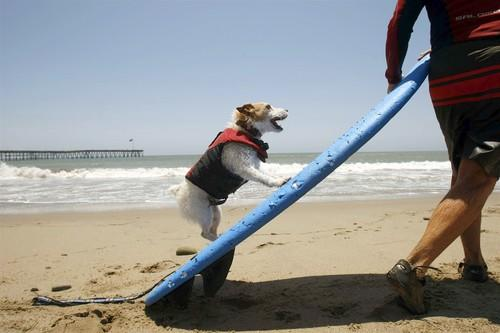 Buddy, a surfing Jack Russell Terrier, gets ready to ride with owner Bruce Hooker of Ventura near C Street and the Ventura Pier. Buddy has been pulling his hot dog moves for seven years. He sports a life jacket with a handle on the back for easy rescues when he goes surfing twice a week.