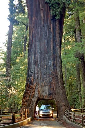 "The title attraction, a towering redwood known as the Chandelier Tree, was cut in the 1930s, leaving a passage 6 feet wide and almost 7 feet high — plenty of room for most cars. This is the heart of redwood country, between Ft. Bragg and Eureka, just a few miles south of the U.S. 101-hugging, 31-mile Avenue of the Giants. It's $5 a car (plus whatever gewgaws you pick up in the abundantly stocked gift shop), and the tree is neighbored by a creek, a meadow, a duck pond, ferns and moss. <b>Info:</b> (707) 925-6363; <a href=""http://www.drivethrutree.com"">http://www.drivethrutree.com</a> or <a href=""http://www.avenueofthegiants.net"">http://www.avenueofthegiants.net</a>."