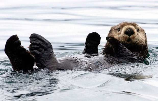 A sea otter floats on Kachemak Bay.