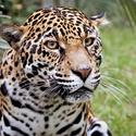Sophia the jaguar
