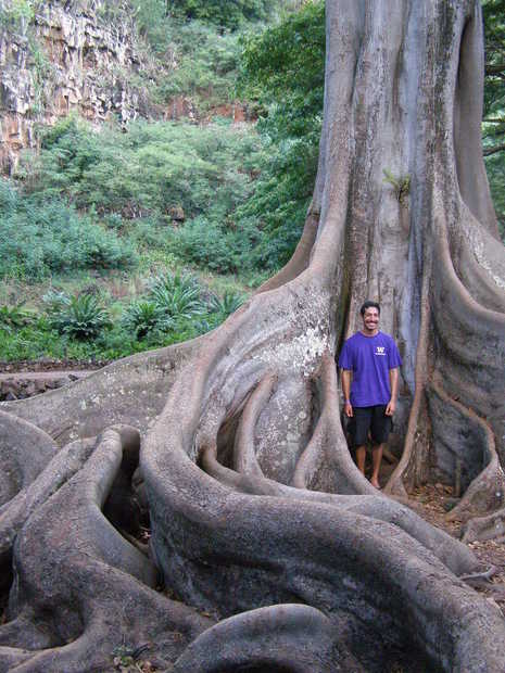 The roots of a strangler fig at Allerton Gardens on Kauai.