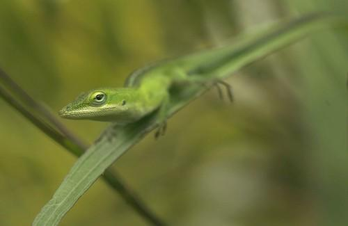 A small lizard pauses in a bush in Hanalei, Kauai.