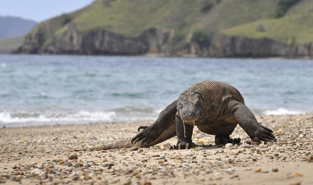 A Komodo dragon roams Komodo island, the largest island in Komodo National Park.