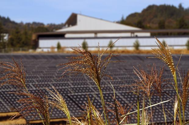 The tall weeds in the rolling hills of Ukiah grow near the solar panels that help to power some of the buildings at Mendocino College.