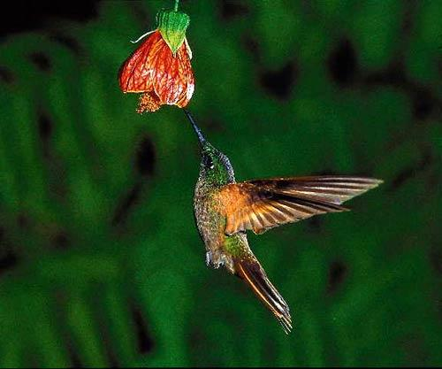 A hummingbird feeds in the orchid-rich environment.
