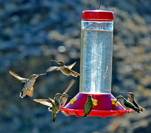 Hummingbirds congregate at a bird feeder by the Palm Canyon Trading Post.