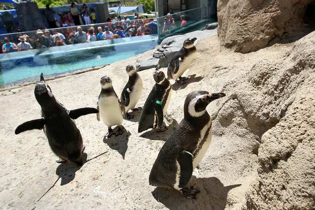 The Aquarium of the Pacific's new permanent exhibit, the June Keyes Penguin Habitat, will open to the public on Thursday. Pictured are a group of Magellanic penguins, some of which were rescued off the coast of Brazil.