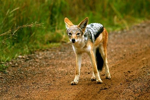 The black-backed jackal is small and adaptable. The fossil record suggests that it is the oldest species in the genus <i>Canis</i>.