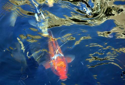 Koi are permanent residents at the Commodore Hotel.