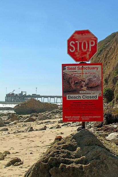 The beach below Carpinteria Bluffs is a breeding place for harbor seals.